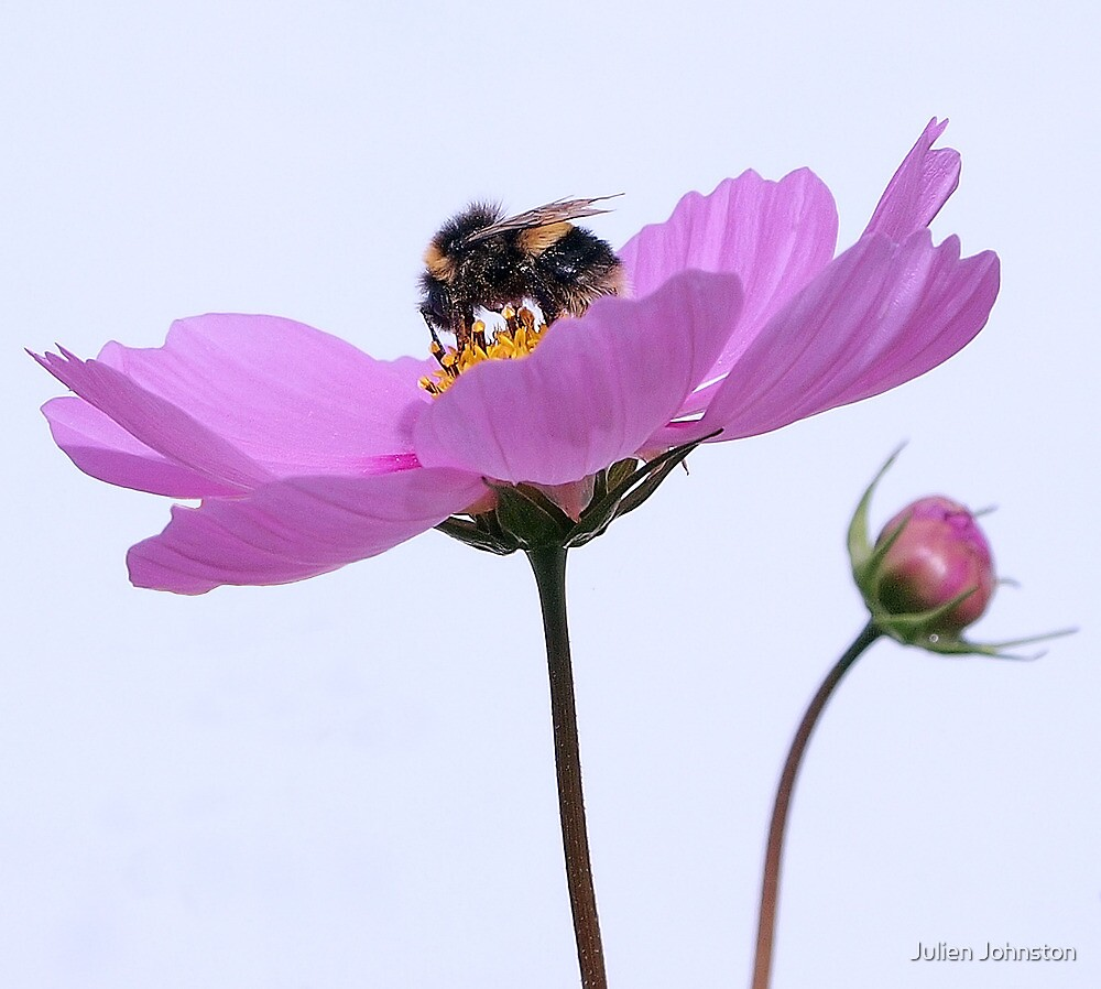 Bee and Flower by Julien Johnston