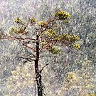 30.1.2013: Pine Tree, Blizzard by Petri Volanen