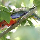 Rosella Curiosity by Phillip Weyers