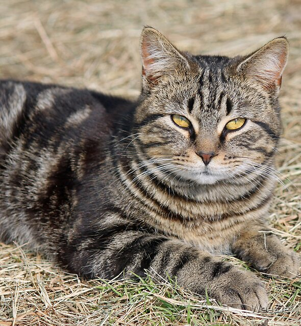 Barn Cat by WeeZie