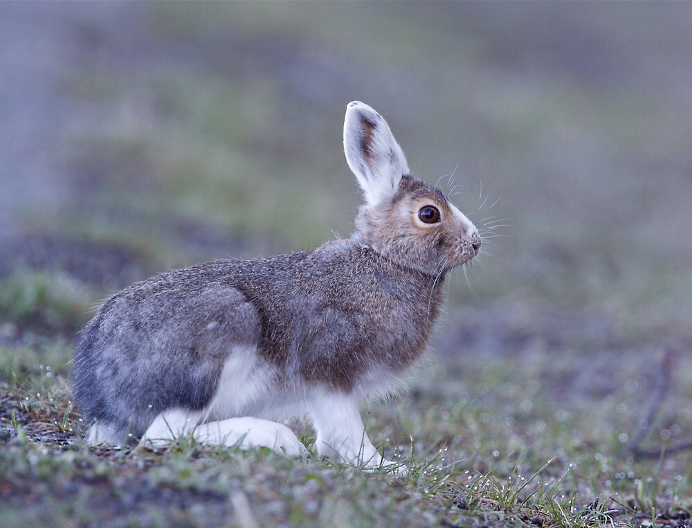 Snowshoe Hare changing back to summer's brown, Yellowstone by TomReichner