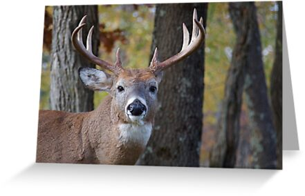 quotwhitetail buck deer portrait in deciduous forest