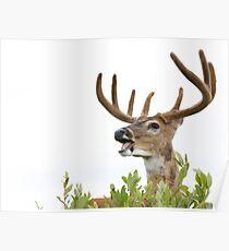White-tailed Buck Deer with velvet antlers, summer portrait Poster