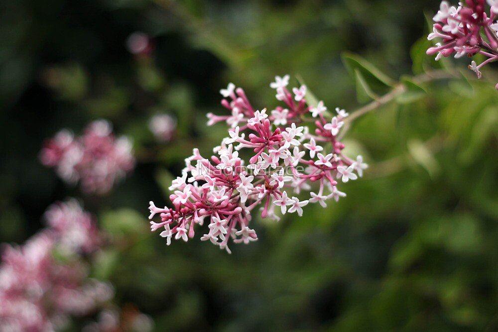 Pink lilacs by NaomiGrace