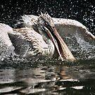 Pelican by Daniel Nautré