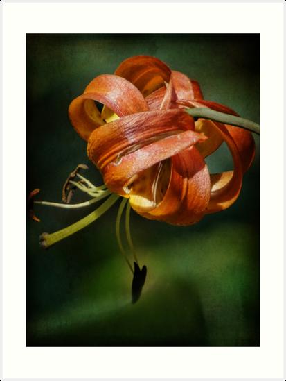Tiger Lily by vigor