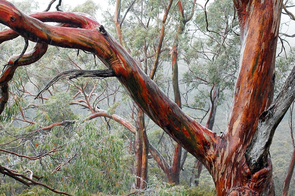 Eucalypts in Mist by Harry Oldmeadow