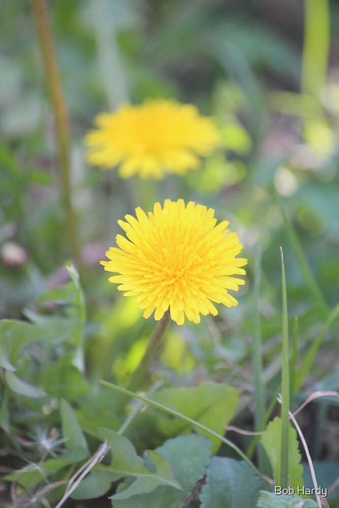 Lawn Daisy by Bob Hardy