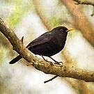 Blackbird by Astrid Ewing Photography