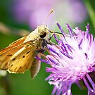 Fiery Skipper by William Fehr