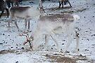 Reindeer - Äkäslompolo, Ylläs, Lapland by Tim Topping