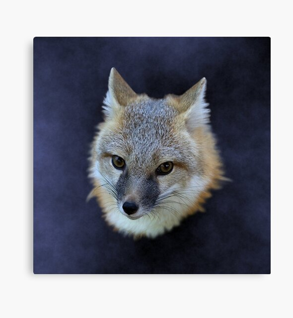 Studio Dalio - Swift Fox Canvas Print