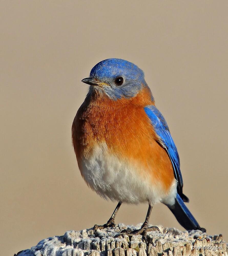 Bluebird by photosbyjoe