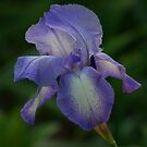 Bearded Iris by Penny Fawver