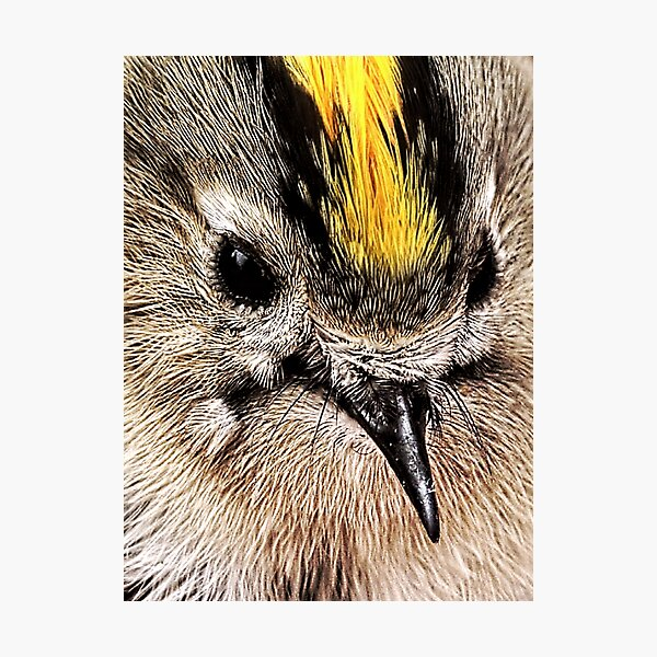 Close-up of a Goldcrest Photographic Print