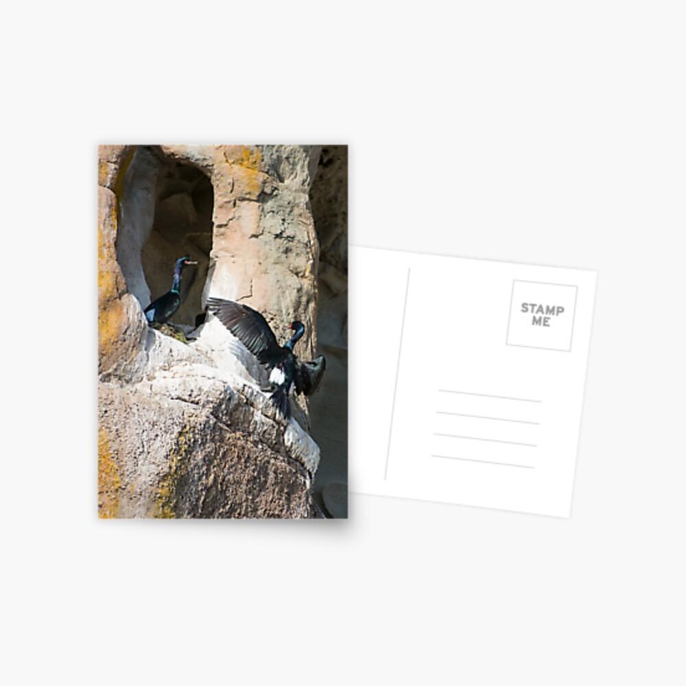 Nesting Pelagic Cormorants Postcard