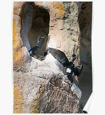 Nesting Pelagic Cormorants Poster