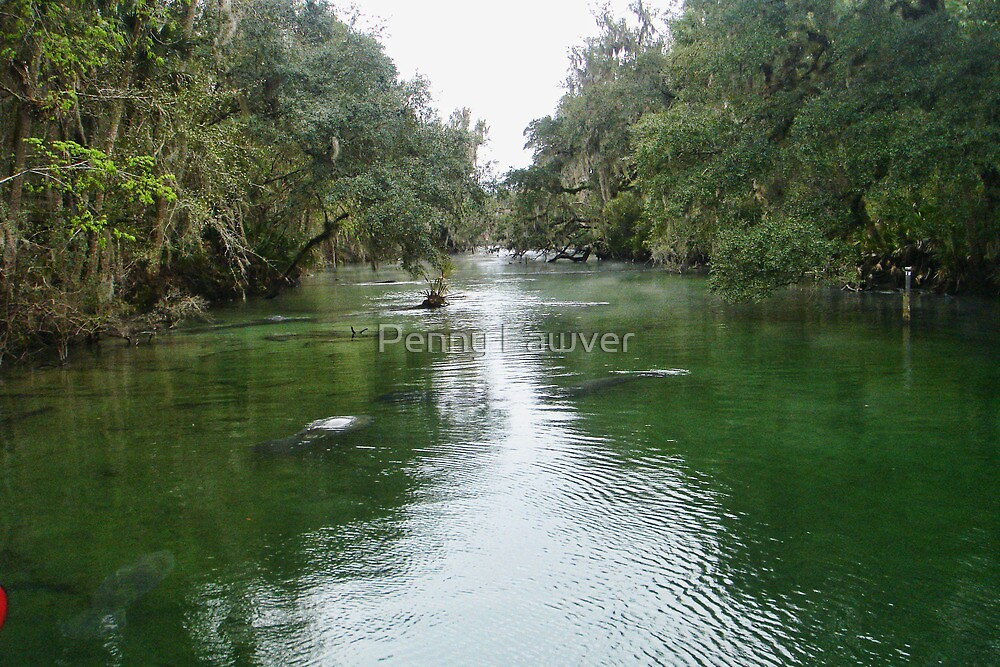 The manatee on the river by Penny Rinker