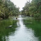 The manatee on the river by Penny Fawver