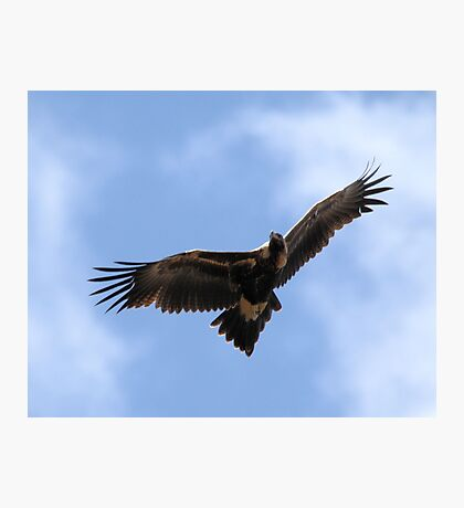 Wedge=Tailed Eagle Canberra Photographic Print