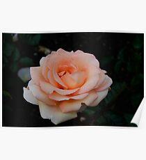 Lolita Hybrid Tea Rose Poster