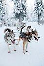Huskies away by Tim Topping