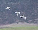 Gulls at Carmel Slough by Yukondick