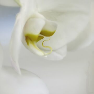 Orchid by ajlphotography