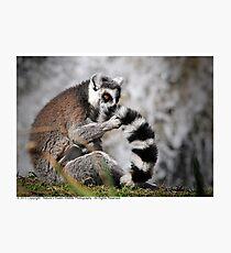 Ring-Tailed Lemur 2013 Photographic Print