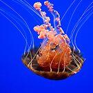 Blood Orange Jellyfish by Diego Re