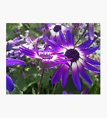 Field of Violet Flowers Photographic Print