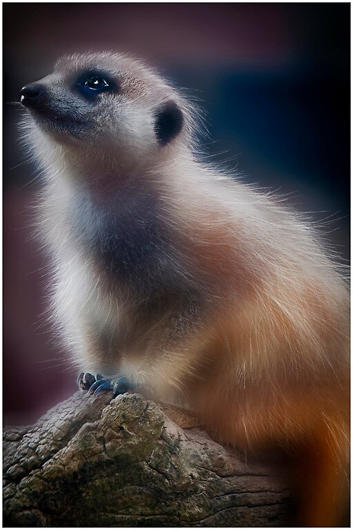Hairy meerkat by gioiaw