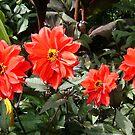 RED DAHLIAS by Shoshonan