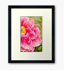 tree peony in pink Framed Print