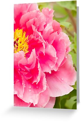 tree peony in pink by Penny Fawver