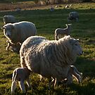 Untitled- Sheep Paddock by claire-virgona