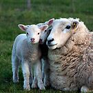 Untitled- Sheep Family by claire-virgona