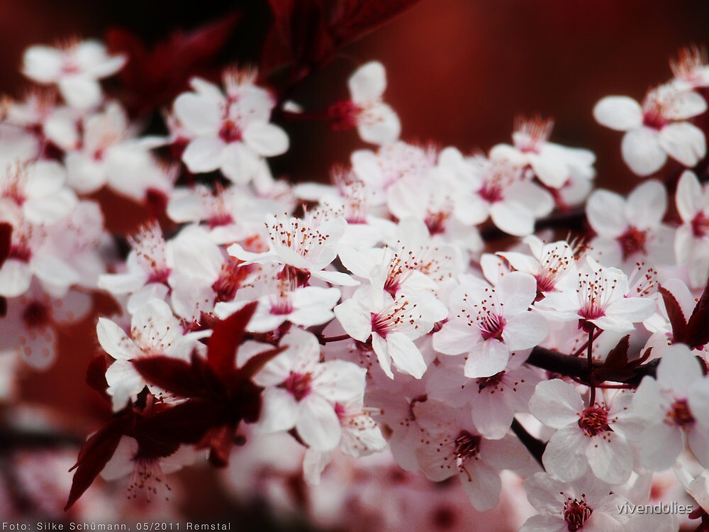 Cherry blossoms VRS2 by vivendulies