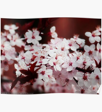 Cherry blossoms VRS2 Poster