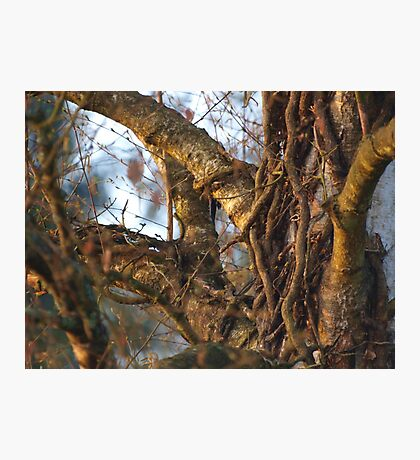 Ivy Roots in the Tree VRS2 Photographic Print