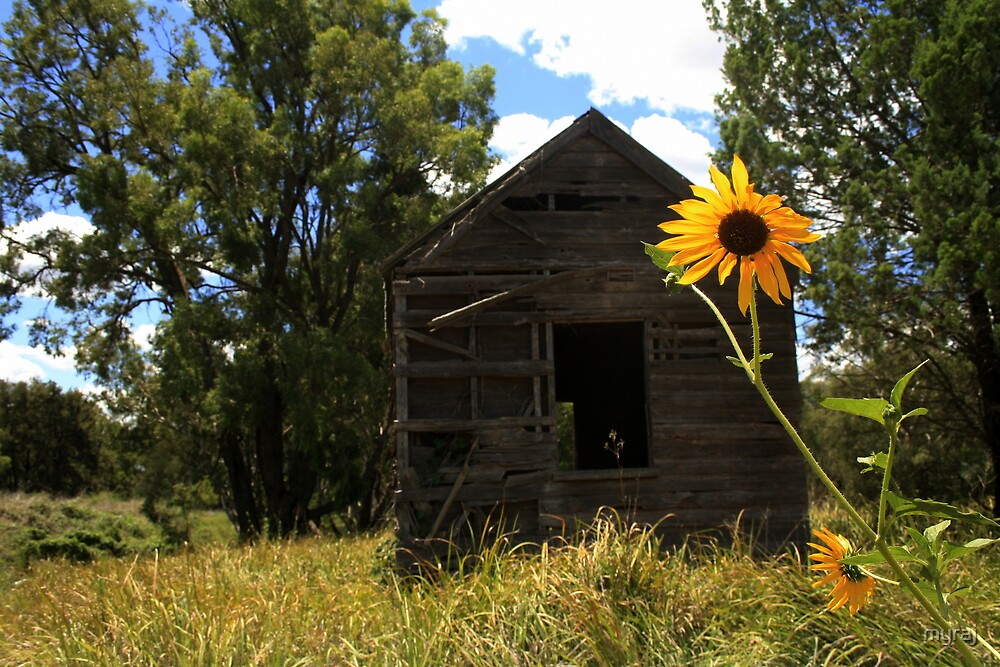 Sun flowers and an old shed at Baradine by myraj