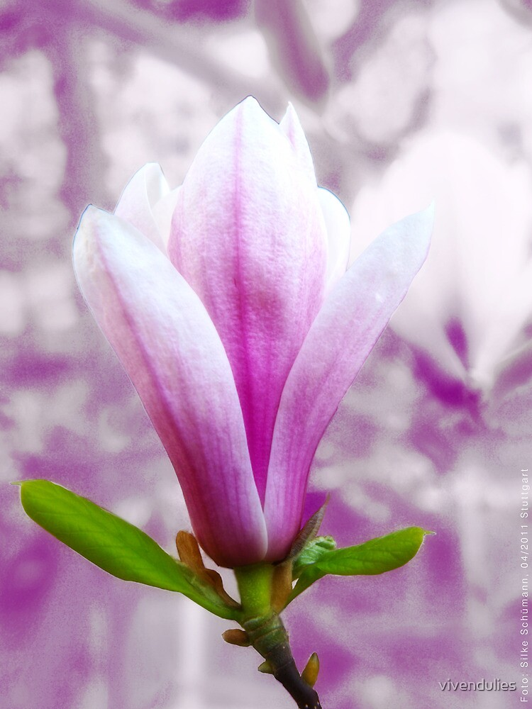 Magnolia blooming in Spring (light) VRS2 by vivendulies
