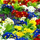 Colorful Primroses VRS2 by vivendulies