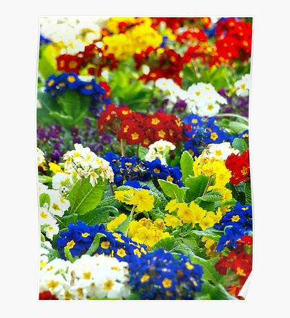 Colorful Primroses VRS2 Poster