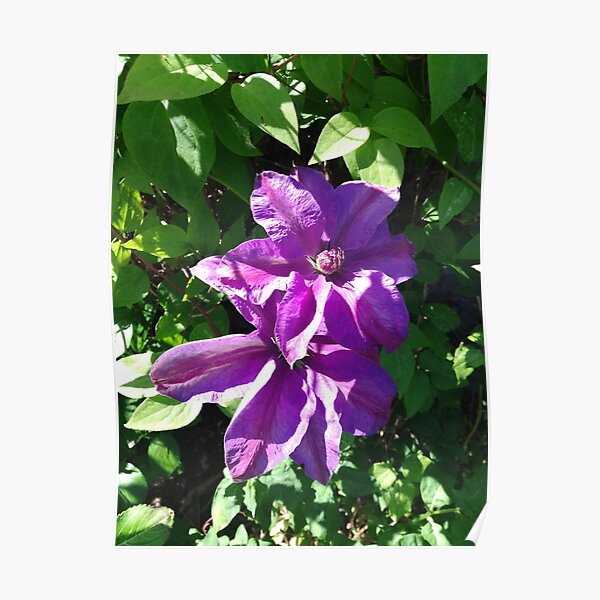 Purple clematis photograph Poster