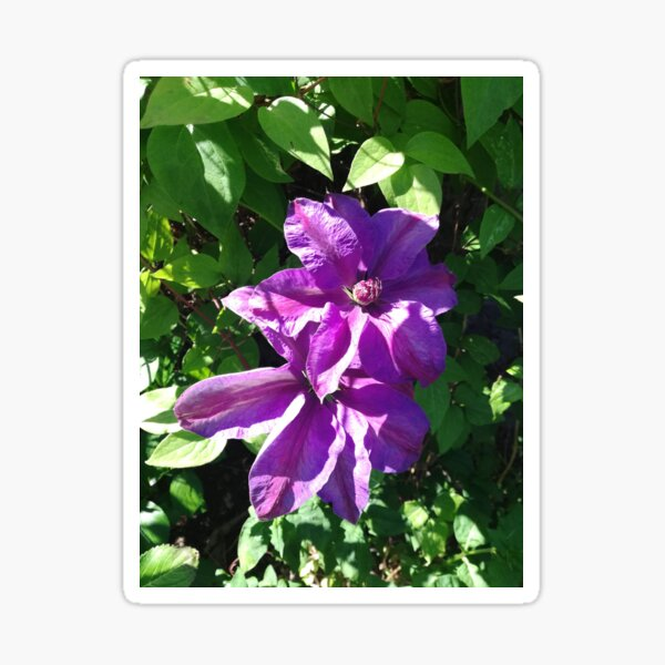 Purple clematis photograph Sticker