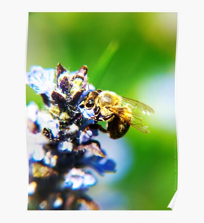 Bee on Common Bugle VRS2 Poster