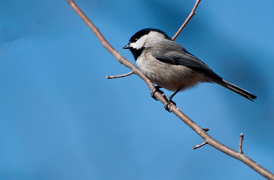 Black-capped Chickadee by barnsis