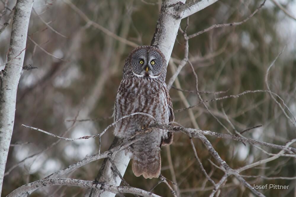 Great Grey Owl - Ottawa, Ontario by Josef Pittner