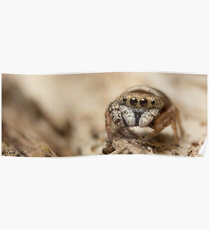(Simaethula ZZ483) Jumping Spider #5 Poster
